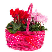 Pink basket with Cyclamen — Stock Photo