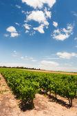 Vineyard in landscape — Stock Photo