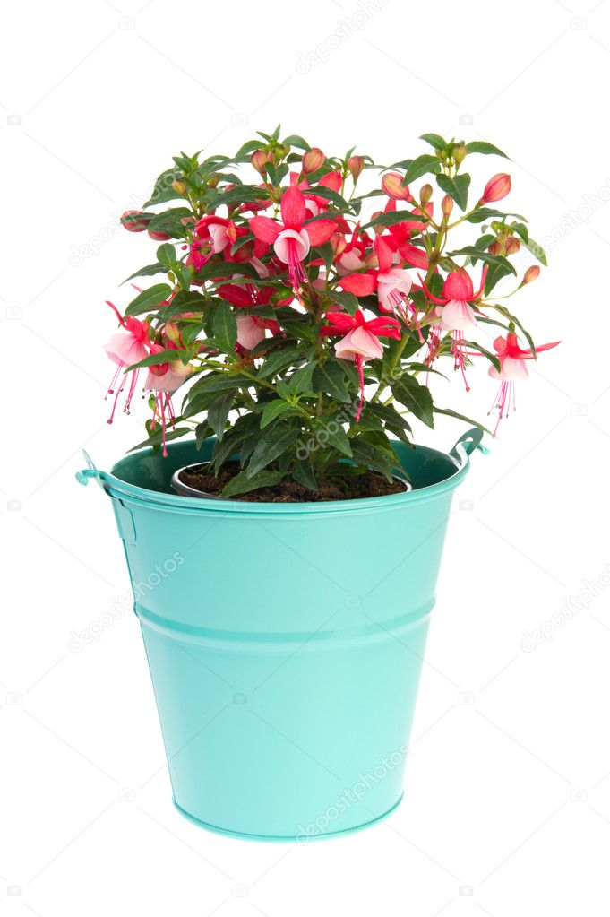 Multi color Fuchsia in blue bucket isolated over white background — Stock Photo #6013376