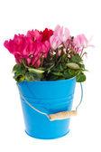Blue bucket Cyclamen — Stock Photo