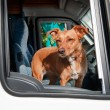 Dog in car — Stok fotoğraf