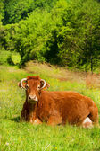 Limousin cows — Stock Photo