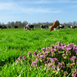 Cows in Dutch landscape — Stock Photo