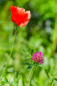 Purple Clover and red Poppie — Stock Photo