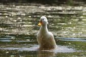 Duck and drops — Stock Photo