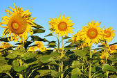 Sunflowerfield — Stock Photo