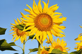Sunflower on field — Stock Photo