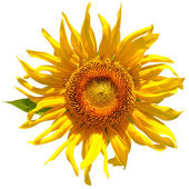 Isolated Sunflower — Stockfoto
