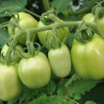 Tomatoes green — Stock Photo #6302203