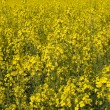 Flowering Canola — Stock Photo