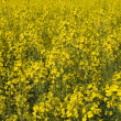 Stock Photo: Flowering Canola