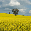 Flowering Canola Field — Stock Photo #5914819
