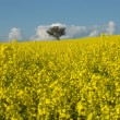 Flowering Canola Field — Stock Photo #5914863