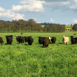 Cattle in a Field — Stock Photo #5915321