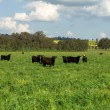 Stock Photo: Cattle in a Field