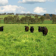 Cattle in a Field - Stock Photo