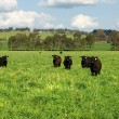 Cattle in a Field - Foto Stock