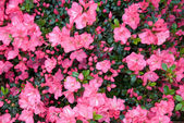 Karume Azalea — Stock Photo