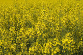 Flowering Canola — Stock Photo