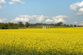 Flowering Canola Field — Stock Photo