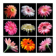 Gerbera Daisies — Stock Photo