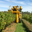 Stock Photo: Harvesting Grapes