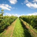 Vineyard Scene — Stock Photo #5929729