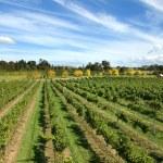 Vineyard Scene — Stock Photo #5929818