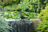 Duck Beside a Pond — Stock Photo
