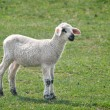 Stock Photo: The lamb
