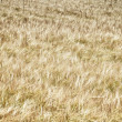 Barley — Stock Photo #6295622