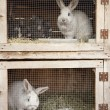 Stock Photo: Breeding rabbits