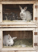 Breeding rabbits — Stock Photo