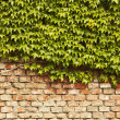 Ivy wall — Stock Photo #5642548