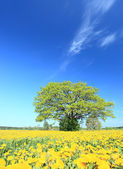 Oak in a sunny day. — Stock Photo