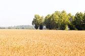 Weizen. — Stockfoto