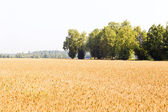 Wheat. — Stockfoto