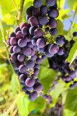 Grape in vineyard. — Stock Photo