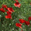 Wild poppies in summer field — Lizenzfreies Foto