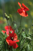Wild poppies in summer field — Foto Stock