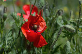 Wild poppies in summer field — Foto de Stock