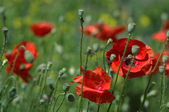 Wild poppies in summer field — Stock Photo