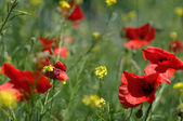 Wild poppies in summer field — Stok fotoğraf