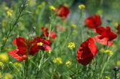 Wild popies in summer field — Stock Photo