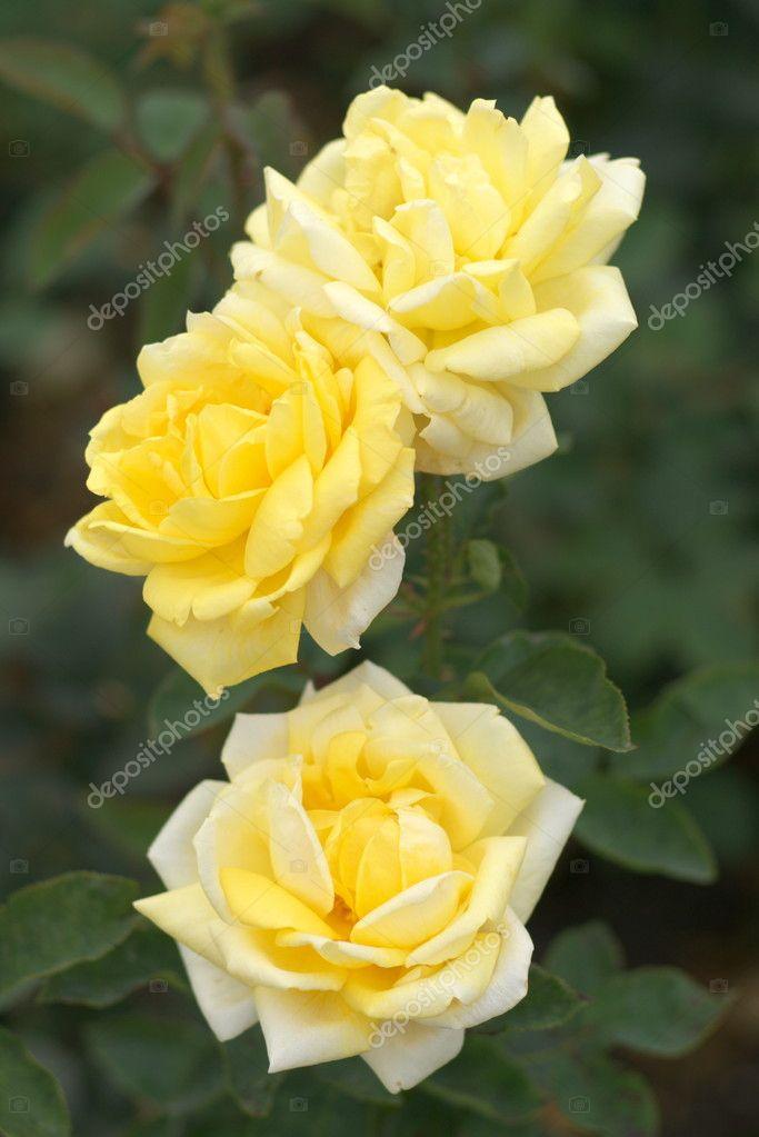 Tres rosas amarillas � Foto stock � xdrew73 #6225696