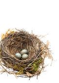 Detail of blackbird eggs in nest isolated on white — Stock Photo