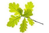 Oak leaf — Stock Photo