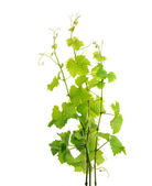 Grapevine branches — Stock Photo