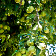 Organic Homegrown Pears in Tree — Stock Photo