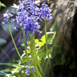 Bluebells close up with sunlight streaming through — Stock Photo